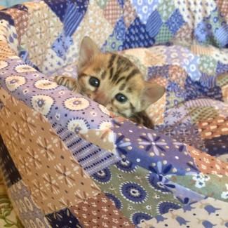 Бенгальские клубные котята, от титулованных родителей
