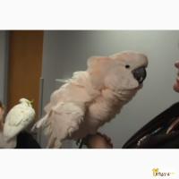 Какаду молуккский - ручные птенцы