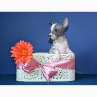 Шикарные щеночки породы мини-мексиканская голая собака