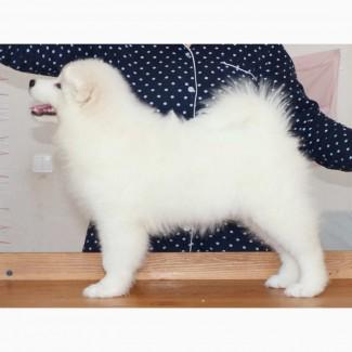 Алиментный щенок самоедской собаки РКФ