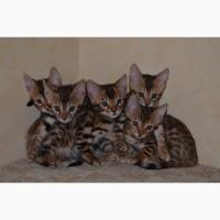 Продам котёнка Бенгальской породы чистокровного
