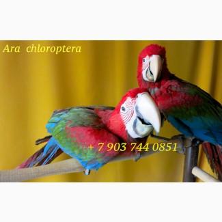 Ara chloroptera - птенцы выкормыши из питомников Европы