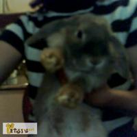 Кролик декоративный веслоухий