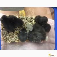 Джунгарские хомячки 4 недели, мальчики и девочки
