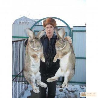 Кролики великаны бельгийский великан-фландр продажа