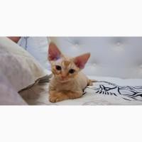 Девон-рекс котята