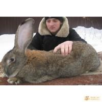 Кролики – Гиганты породы: Фландр, Ризен, Обер, Немецкий Пестрый.