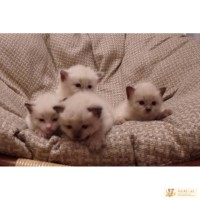 Продам очаровательных балинезийских котят без родословной