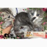 Красивые котята даром, Орехово-Зуево