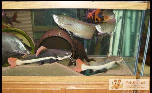 через пару кошачий сом как ухаживать в аквариуме Качурак