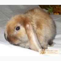 Карликовый кролик вислоухий баран