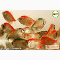 Аквариумные рыбки оптом. Доставка в регионы.