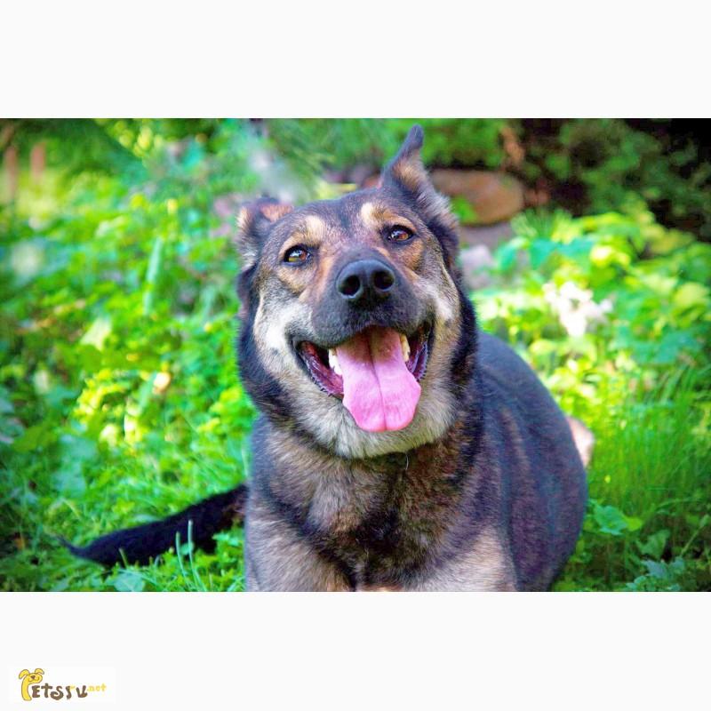 Фото 1/11. Красавица Лола, собака-подружка, лучезарная, послушная ищет дом