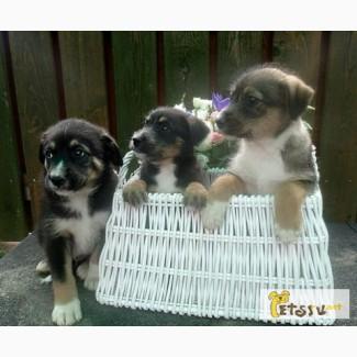 Волшебные щеночки, 1.5 месяца, будут некрупными