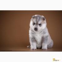 Высокопородные щенки сибирский хаски