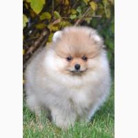Продается клубный щенок