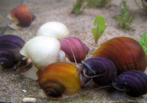 Фото 1/1. Ампулярии разноцветные аквариумные улитки
