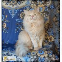 Сибирский кот приглашает на вязку