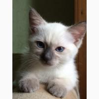 Тайский котенок от титулованных родителей