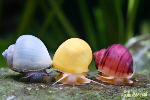 Фото 1/1. Улитка ампулярия. Разноцветные улитки для аквариума