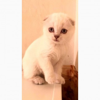 Шотландская кошка голубоглазые