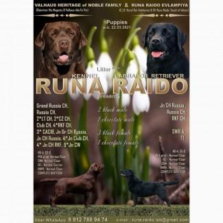 Питомник Runa Raido предлагает к продаже щенков лабрадора от титулованной пары