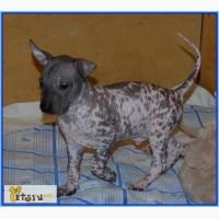 Мексиканская голая собака.Размер стандарт., Санкт-Петербург