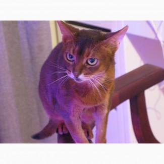 Абиссинская кошка в дар
