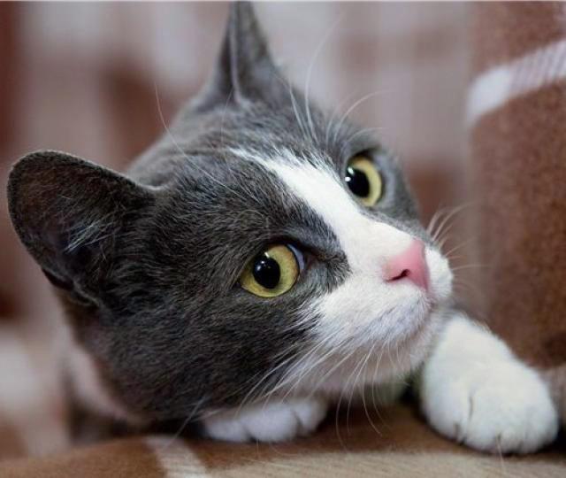 Фото 1/6. Очаровательная котёнка в голубом Лапушка в дар