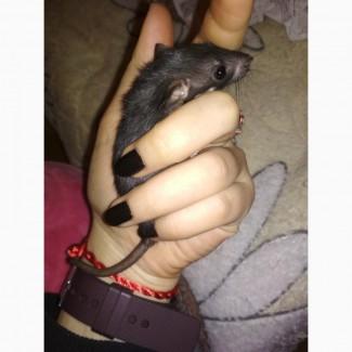 Породистые крысята дамбо
