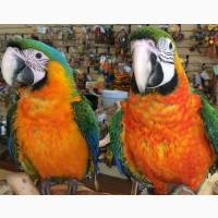 Птенцы выкормыши - гибрид ара Каталина