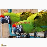 Зеленый ара (Ara ambigua) - ручные птенцы из питомников Европы