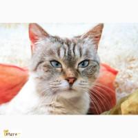 Истинная леди Дороти - чудесная тайская кошка ищет дом