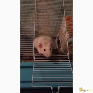 Отдам крысу 2 девочки