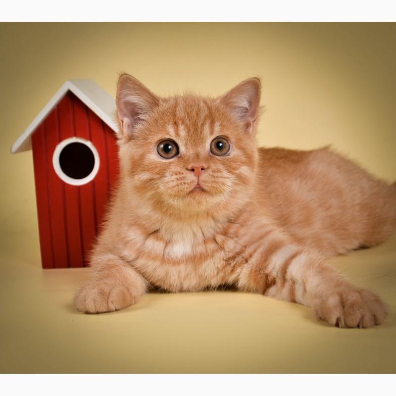 Фото 1/6. Британские котята от Чемпиона мира