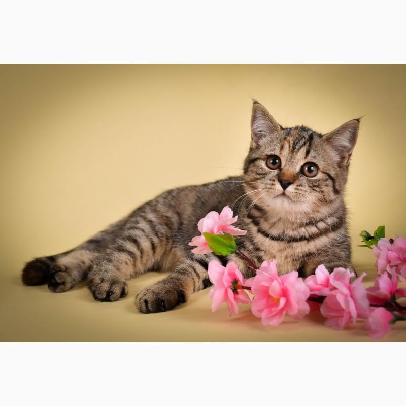Фото 2/6. Британские котята от Чемпиона мира