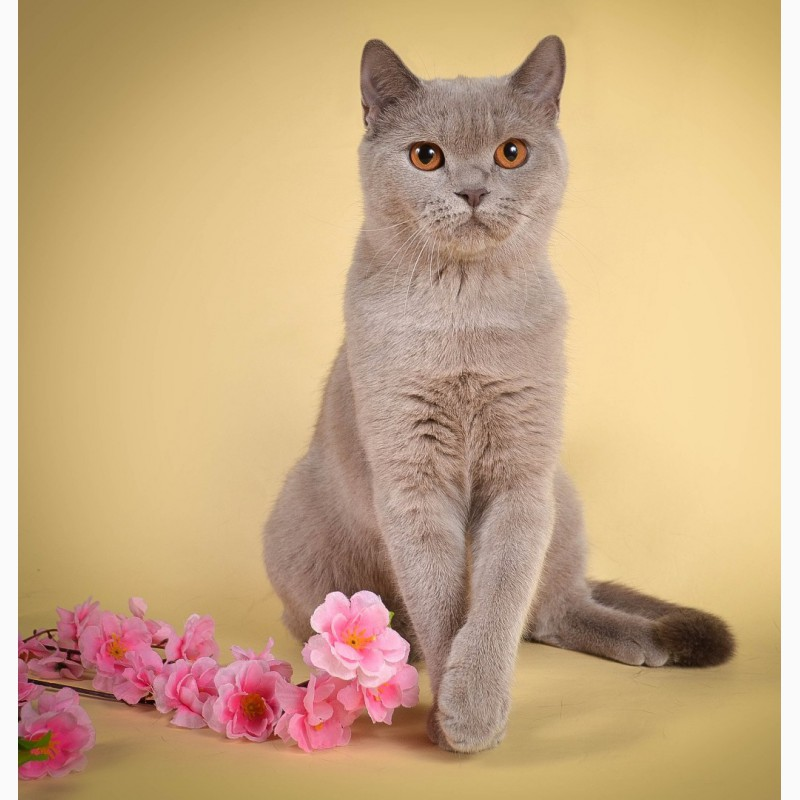 Фото 3/6. Британские котята от Чемпиона мира