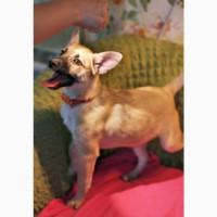 Ищет дом миниатюрная щенулька Рари