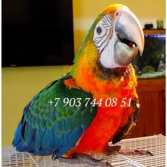 Гибрид Каталина - ручные птенцы из питомника