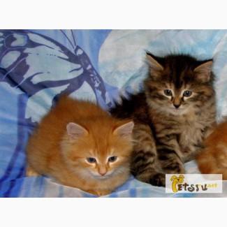 Котята сибиряки в подарок