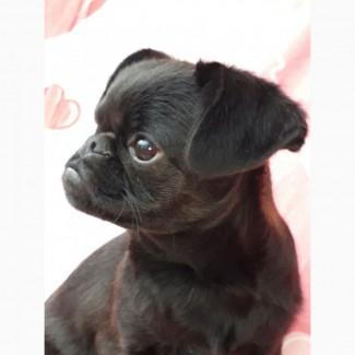 Пти брабансон щенок черного окраса от титулованных родителей