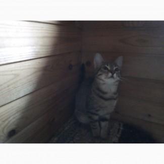 4-х месячные котята (мальчишки и девчонки) от Норвежской Лесной