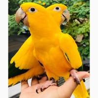 Аратинга золотая (Aratinga guarouba) - птенцы из питомника