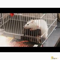Отдам крысу в дар