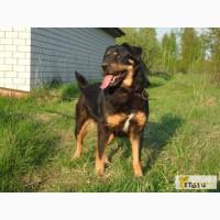 Красавица Грейс, добрая и умная собака, метис ротвейлера в добрые руки