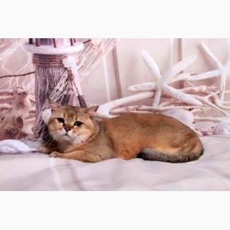 Шотландский пямоухий (страйт)-золотой тикированный кот