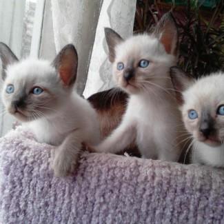 Сиамские статные котята