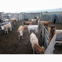 Продаём скот мясного направления по всей России