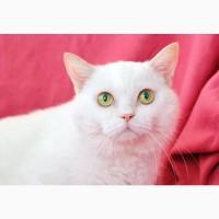 Котик Пушок – белоснежный домашний оберег в дар