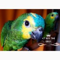 Ручные птенцы - синелобый амазон (Amazona aestiva aestiva) из питомника